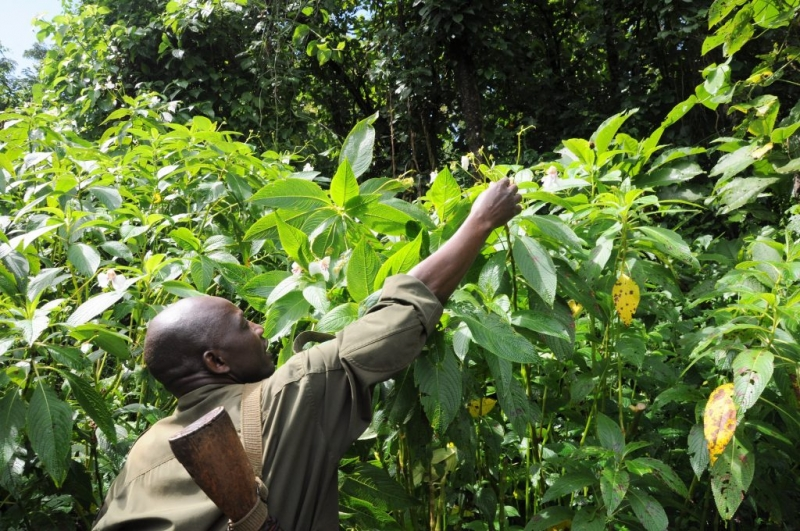 Mount Elgon National Park. Guide Alex shows me how to pop Orchid seeds