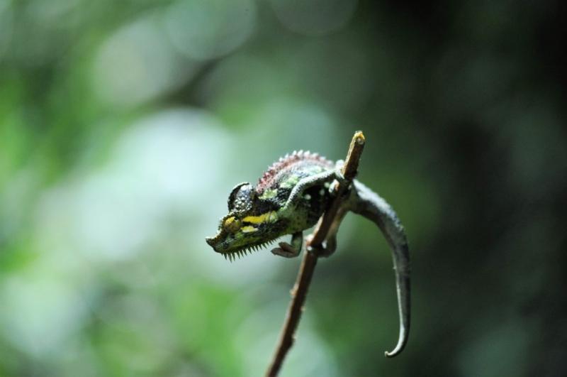 chameleon, Mount Elgon National Park