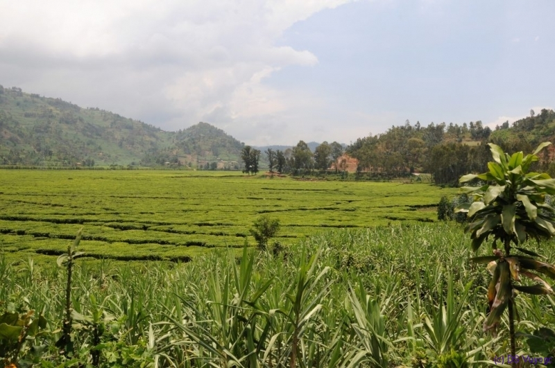 tea plantation, towards Kibuye